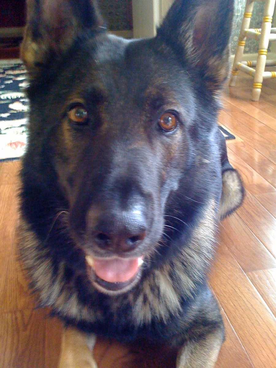 Chronicle Host Sally Wiggin's dog Noris Von Ortenberg.