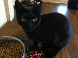 Humane Society of Westmoreland County: Katisha is an adult, female Domestic Short Hair cat.