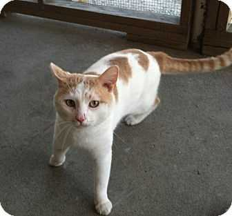 Humane Society of Westmoreland County: Wilbur is a young, orange and white, male Domestic Short Hair cat.
