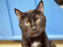 Western PA Humane Society: Xavier is a neutered male Domestic Shorthair. He is about 2 years old and weighs 11 pounds.