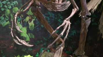 Anzu had a toothless beak and a crest on its skull like a rooster's comb, combined with long arms and sharp claws up to about 4 inches long. It apparently also had feathers over much of its body.