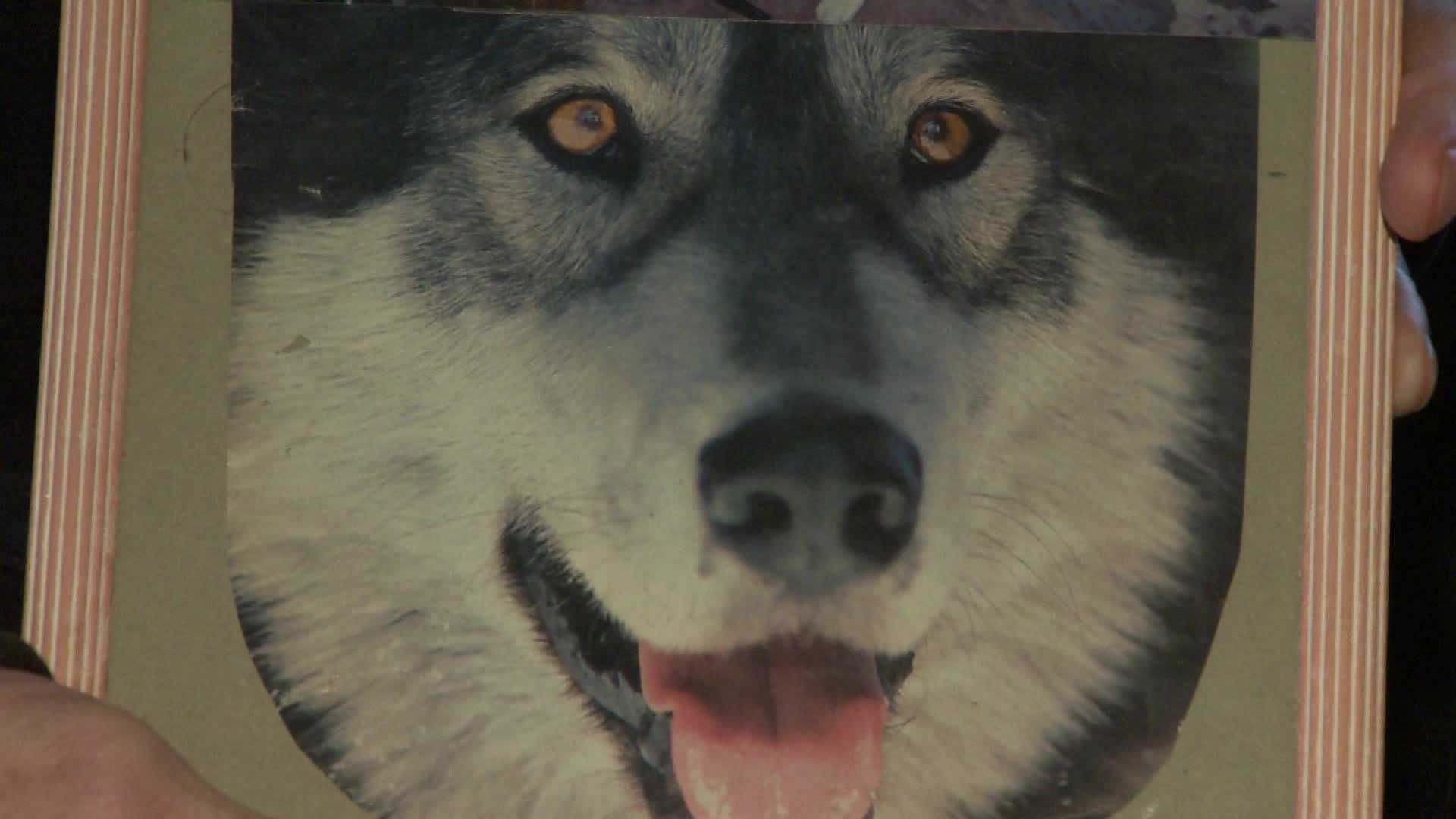A portrait of Mark Boehler's Siberian husky, Thor