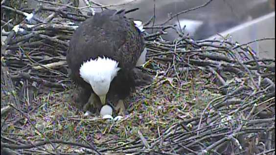 A female bald eagle with one of her eggs in her nest in Pittsburgh's Hays neighborhood.
