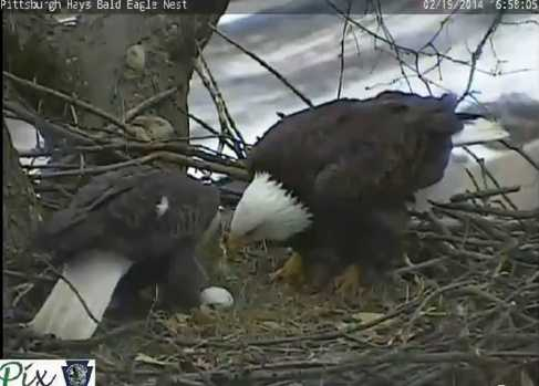 Feb. 19, 2014: The first egg is laid at 4:45 p.m. (Click here to watch video)