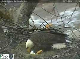 Feb. 22, 2014: The second egg is laid at 4:18 p.m. (Click here to watch video)