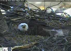 March 26, 2014: A red-tail hawk makes several passes at the nest. (Click here to watch video)