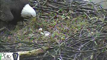 March 28, 2014: The first egg hatches at 3:36 p.m. (Click here to watch video)