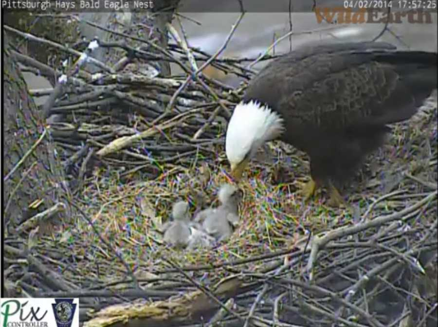 April 2, 2014: The third and final egg hatches at 4:54 p.m. (Click here to watch video)