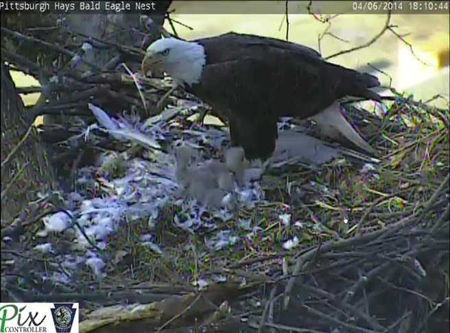 April 6, 2014: A bird is fed to the three eaglets. (Click here to watch video)