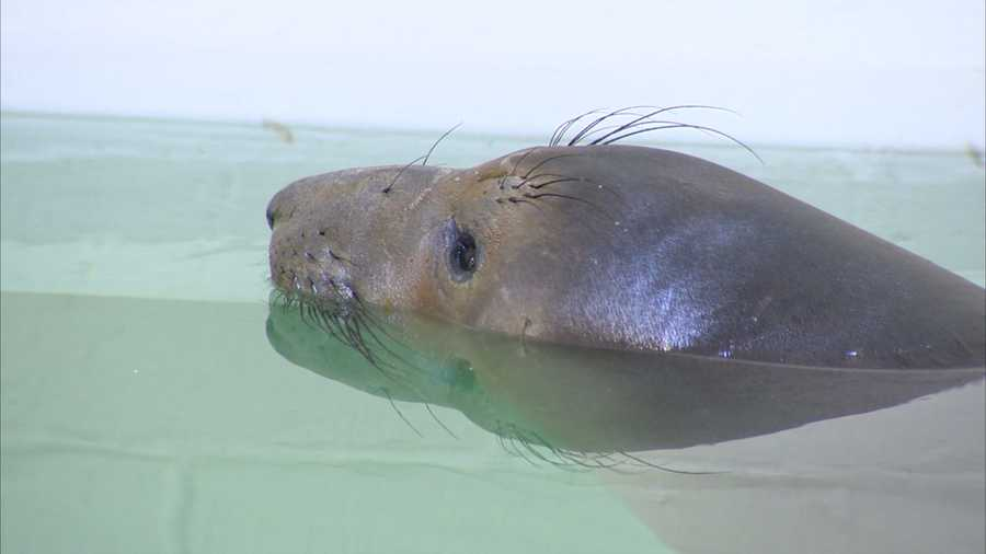 A new bundle of joy arrived at the Pittsburgh Zoo & PPG Aquarium this week: a 1 1/2-year-old, 500-pound northern elephant seal that is only about one-tenth the size he likely will become.