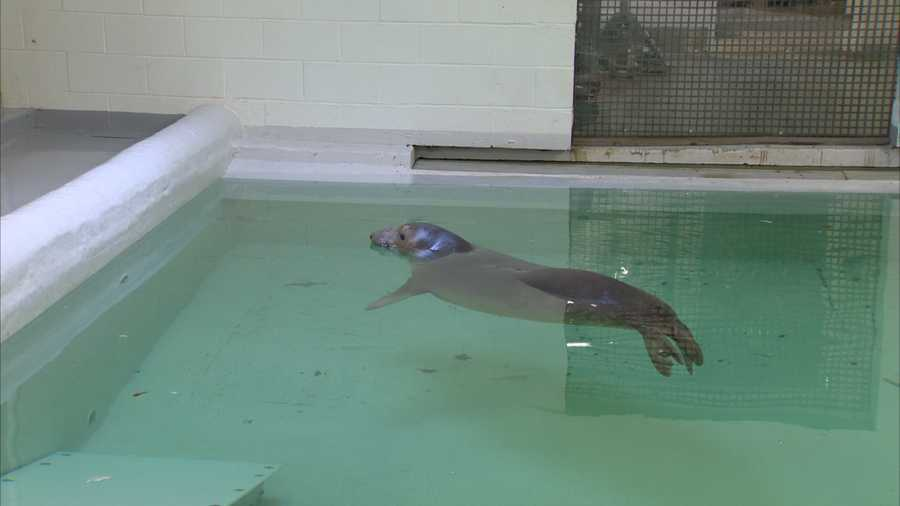 Moving a 500-pound seal across the country is no easy task. A special crate was made for Coolio, and he had to be constantly monitored and sprayed with water to keep cool during the flight to Pittsburgh.