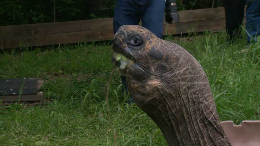 On average, tortoises live to be approximately 100 years old with the oldest tortoise ever recorded lived to be over 170 years old