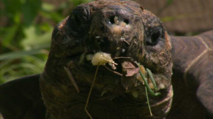 At the zoo, the tortoises will dine on timothy hay and enjoy a small amount of grain and produce.