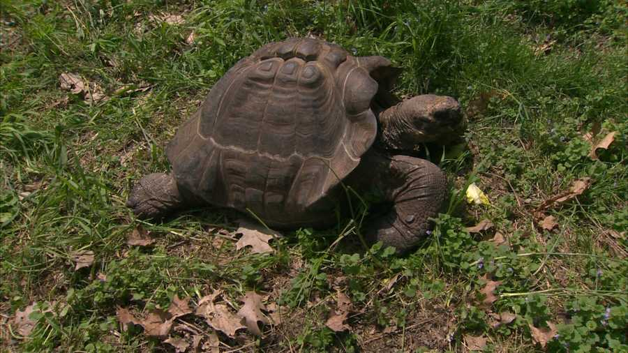 With approximately 20,000 left in the wild, Galápagos tortoises are endangered.