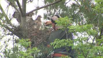 In between school bells, Jeff Finch is the principal at Hampton High School in Allison Park. Afterward, he's an experienced falconer who found himself helping to relocate two red-tailed hawk hatchlings on Wednesday.