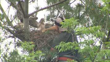 """""""The Game Commission thought it best to remove the chicks and dissemble part of the nest, both for the protection of the people in the area, as well as for the birds themselves,"""" said Jim Bonner, executive director of the Audubon Society of Western Pennsylvania."""
