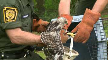 Now that the nest has been dissembled and the hatchlings have been moved, the adult hawks are expected to find a new home.