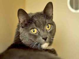 Western PA Humane Society: Nala is a spayed female, gray and white Domestic Shorthair. She is about 8 years old and weights 14 pounds.