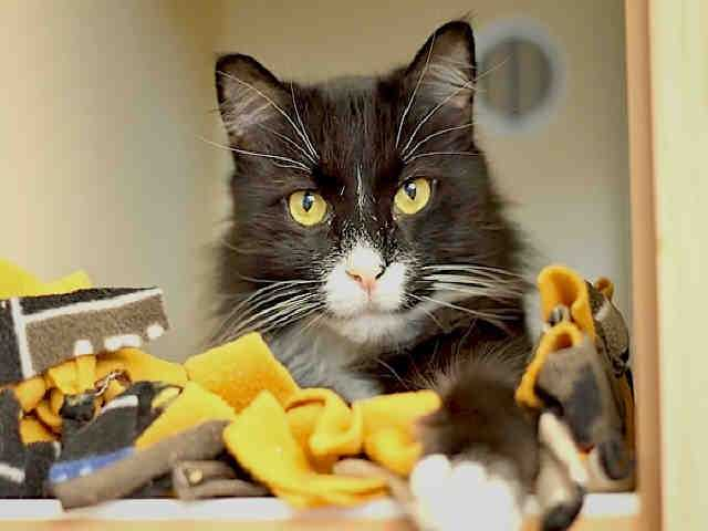Western PA Humane Society: Shadow is a neutered male, black and white Domestic Shorthair. He is about 7 years old and weights 10 pounds.