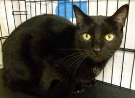 Animal Rescue League: Chucky is a neutered male Domestic Shorthair. He is 3 years old and is 12 pounds.