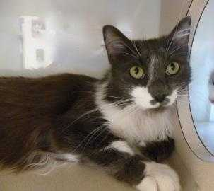 Animal Rescue League: Alex is a neutered male Domestic medium hair. He is 3 years old and weighs 10 pounds.