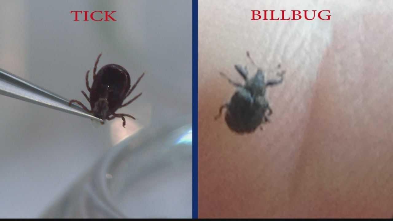 tick vs billbug