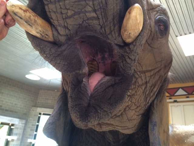 You can't see them all here, but elephants have 26 teeth, including their tusks.