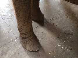 "Although elephants are extremely heavy, they are very ""light"" on their feet when they walk."
