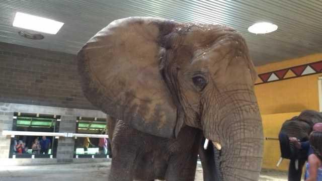 Elephants flap their ears to help them keep cool.
