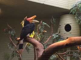 Rhinoceros Hornbills are near threatened. The survival of these large, unique rain forest dwellers depends on zoos like the National Aviary to breed them.