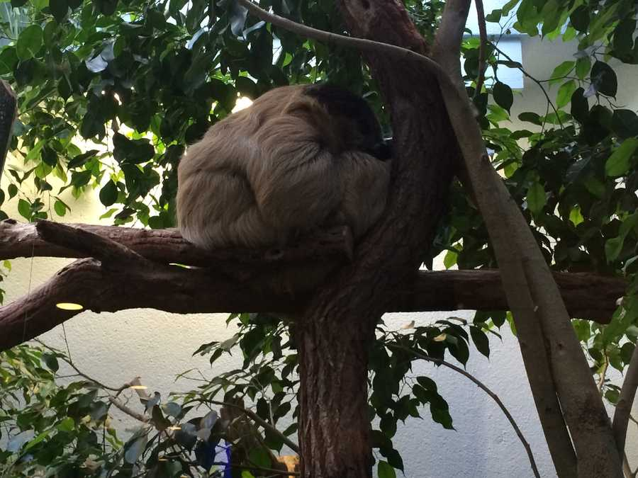 You might get caught off guard when you spot Wookie, the National Aviary's Linne's two-toed sloth, located in their Cloud Forest exhibit with the Toucans!