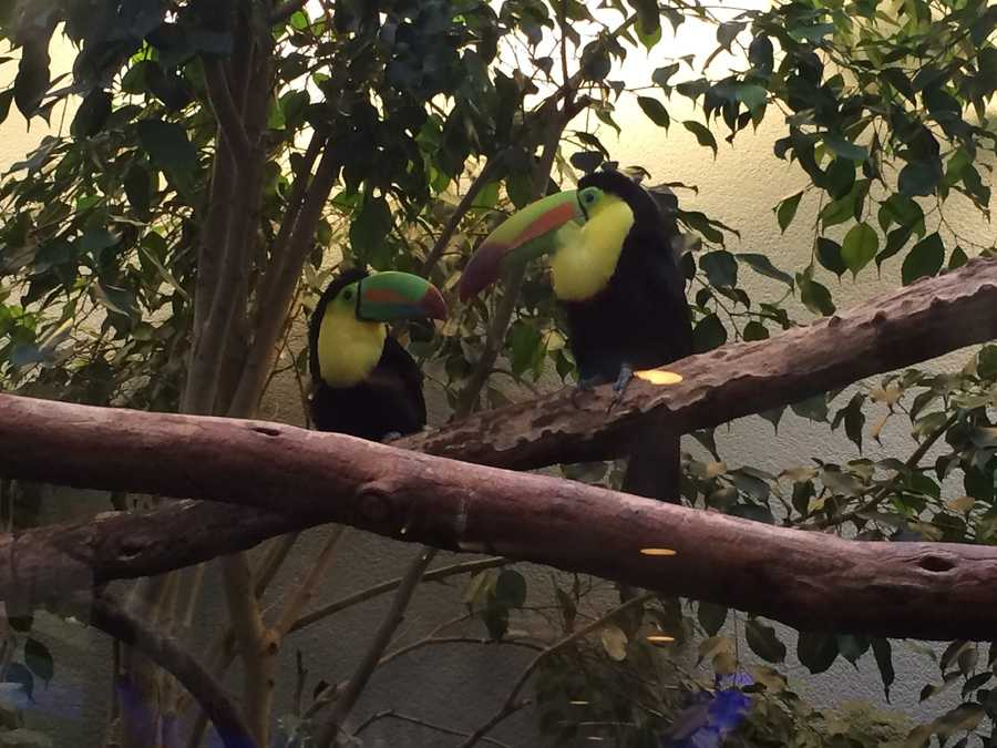 Lovebirds: Bob is a widower and recently met his new true love, Louisa, this past June. 44% of the National Aviary birds, like these two keel-billed toucans, are paired for potential breeding for future generations.
