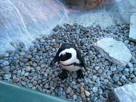 African Penguins natural habitat is warm coastal beaches and their diet consists of fish and squid.