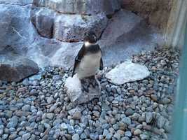 The National Aviary participates in a species survival plan to protect penguins.
