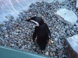 Only 20,000 African Penguins remain in the wild.