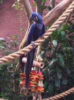 Known as the class clowns of the parrot world the Hyacinth Macaw played nice and posed pretty for a picture!