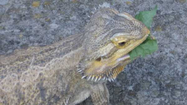 A domesticated bearded dragon eating leaves.