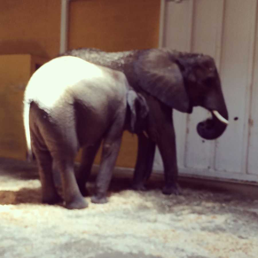 Baby Angeline still nurses from her mother Savannah - which is very unusual at her age.