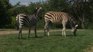 "Spencer and Penelope, also known as ""Penny,"" are a species called Grant's zebras. They are both about 1 year old and weigh more than 300 pounds each."