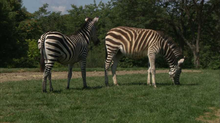 """Spencer and Penelope, also known as """"Penny,"""" are a species called Grant's zebras. They are both about 1 year old and weigh more than 300 pounds each."""