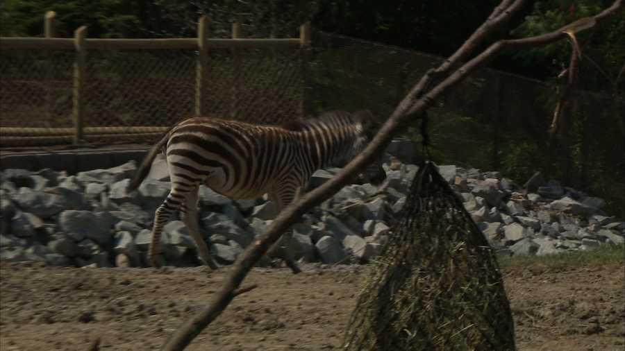 The zebras will be in the yard daily from 9:30 a.m. to noon for the next week.