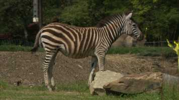The zoo said each species is identified by its own distinctive stripe pattern, and each individual zebra wears its own characteristic pattern. Penny has a black-and-white braided pattern on the tail, and Spencer has more of a brown-and-white stripe combination.