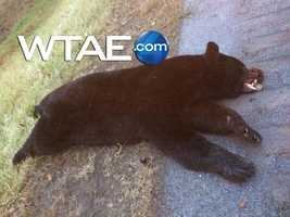 A driver hit a huge black bear early Wednesday morning on Route 119 in Indiana County.