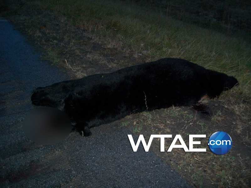 The bear was estimated by state police to be about 8 feet tall and between 500 and 600 pounds.