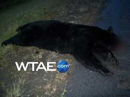 Police said the driver was near Route 286 in White Township when she struck the bear shortly before 6 a.m.