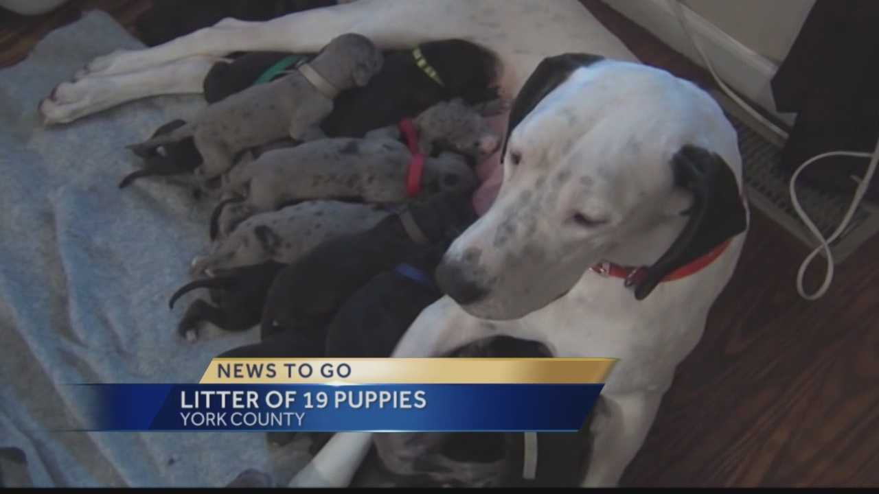 Pittsburgh's Action News 4's Kelly Frey has the latest on the York County Great Dane that recently gave birth to 19 puppies.