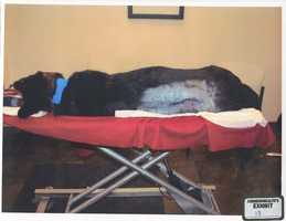 A photo of K-9 Rocco at the emergency veterinary clinic where the dog was treated.