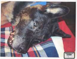 A photo of K-9 Rocco in stable condition at the emergency veterinary clinic where the police dog was treated.