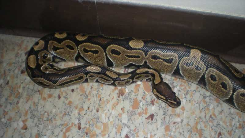 snake python. Woman finds python in her bathroom in middle of night