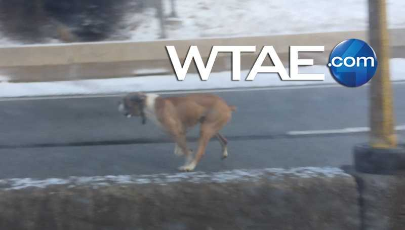 A dog was seen running in traffic on the Parkway East near the Squirrel Hill exit.